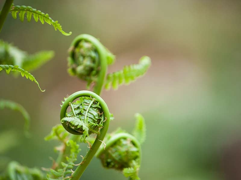 seasonal-spring-fern.jpg