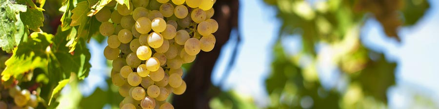 wine-grapes-white.jpg